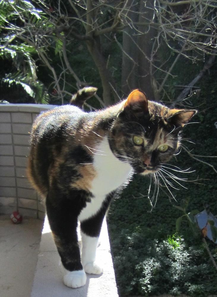 Boe_domestic-cat