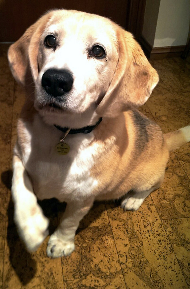 brinkley_american_beagle