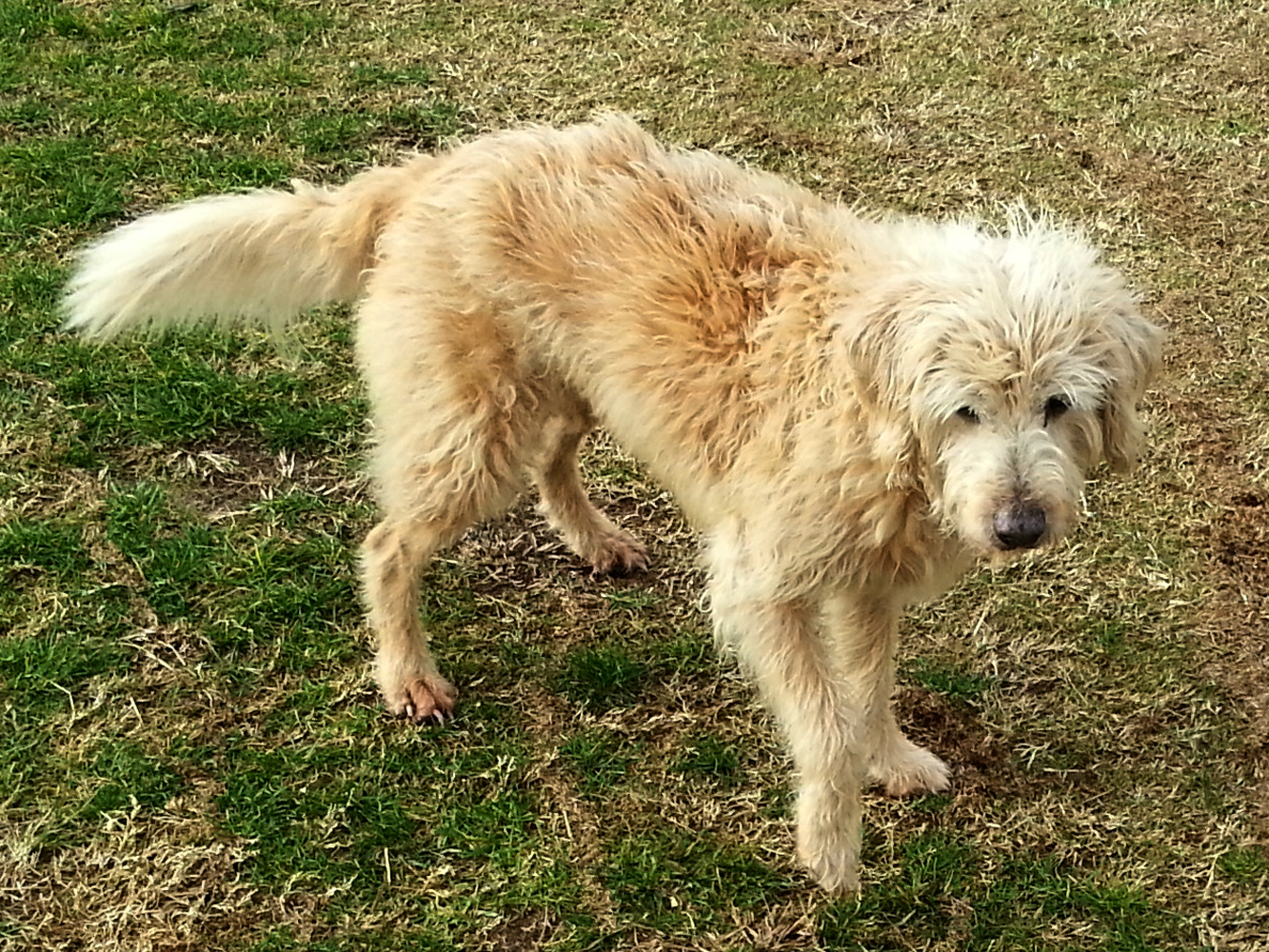 Lucy_Labradoodle