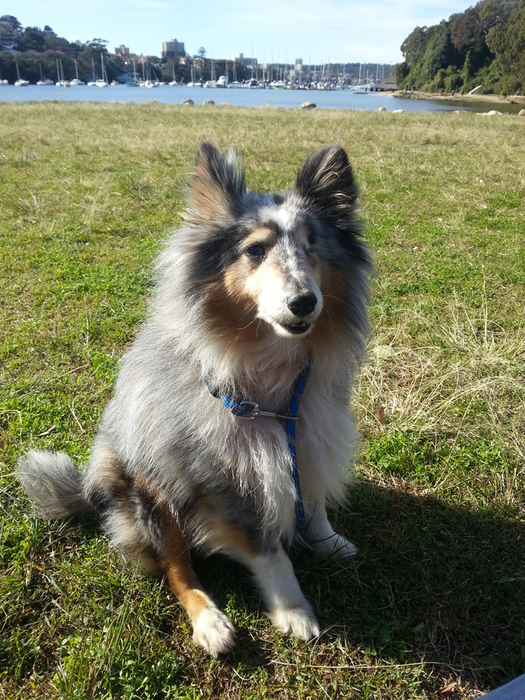 Oscar_miniature_sheltie